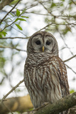 Adult Barred Owl, Strix Varia, in an Oak Tree Hammock, Florida Photographic Print by Maresa Pryor