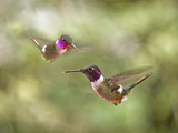 Magenta Throated Woodstar. Hummingbird Gallery, Monteverde, Costa Rica Photographic Print by Thomas Wiewandt