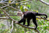 White Headed Capuchin, Cebus Capucinus, Costa Rica Photographic Print by Susan Degginger