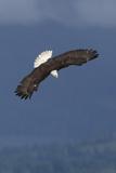 Bald Eagle Diving Photographic Print by Ken Archer