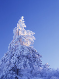 California, Cleveland Nf, Laguna Mountains, Snow Covered Pine Tree Lámina fotográfica por Christopher Talbot Frank