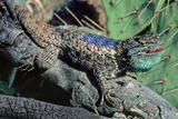 Threat Display of Desert Spiny Lizard, Sonoran Desert. Tucson, Arizona Reproduction photographique par Thomas Wiewandt