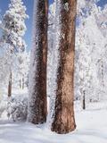 Christopher Talbot Frank - Us, Ca, Cleveland Nf, Laguna Mts, Woodpecker Holes on Ponderosa Pine - Fotografik Baskı