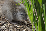 Australia, Adelaide. Cleland Wildlife Park. Long Nosed Potoroo Photographic Print by Cindy Miller Hopkins