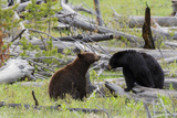 Black Bears, Spring Courting Photographic Print by Ken Archer