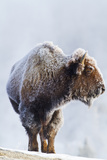 Wyoming, Yellowstone National Park, Frost Covered Bison Cow in Geyser Basin Photographic Print by Elizabeth Boehm