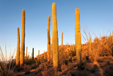 Rays of Sun, Giant Saguaro Cactus Saguaro West National Park, Tucson, Arizona Photographic Print by Susan Degginger