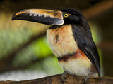 Collared Aracari, La Paz Waterfall Gardens, Vara Blanca, Costa Rica Photographic Print by Thomas Wiewandt