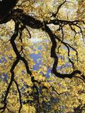 California, Sierra Nevada, Yosemite National Park, Backlit California Black Oaks Photographic Print by Christopher Talbot Frank