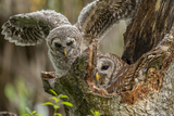Baby Barred Owl Working around Nest in a Oak Tree Hammock, Florida Photographic Print by Maresa Pryor