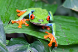 Red Eyed Tree Frog, Agalychnis Callidryas, Costa Rica Photographic Print by Susan Degginger