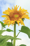 Sunflower, Community Garden, Moses Lake, Wa, USA Photographic Print by Stuart Westmorland