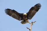 Bald Eagle Landing, Haliaeetus Leucocephalus, Southwest Florida Photographic Print by Maresa Pryor