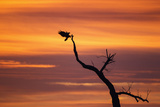 Bosque Del Apache Nwr, New Mexico. Bald Eagle Landing Photographic Print by Larry Ditto