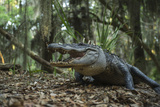 American Alligator in Forest. Little St Simons Island, Georgia Photographic Print by Pete Oxford