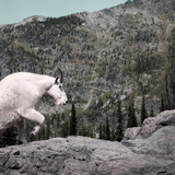 Mountain Goat Climbing Rocks in Glacier National Park, Montana Photographic Print by James White