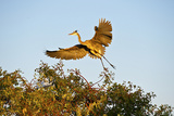 Florida, Venice, Great Blue Heron Adult Flying Wings Wide Photographic Print by Bernard Friel