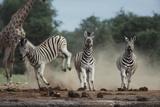 Namibia, Etosha National Park, Plains Zebra Running Towards Water Hole Photographic Print by Paul Souders