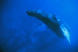 Atlantic Humpback Whale Rises to the Surface, Dominican Republic Photographic Print by Thomas Wiewandt