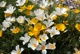 White Poppies Bloom in the Sonoran Desert, Tucson, Arizona Reproduction photographique par Susan Degginger