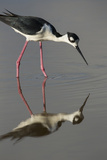 Black Necked Stilt with Reflection, Eco Pond, Everglades National Park, Florida Photographic Print by Maresa Pryor