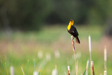 Yellow Headed Blackbird in the National Bison Range, Montana Reproduction photographique par James White