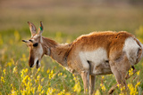 Pronghorn Antelope in the National Bison Range, Montana Photographic Print by James White