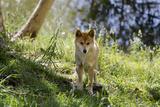 Australia, Adelaide. Cleland Wildlife Park. Australian Dingo Photographic Print by Cindy Miller Hopkins