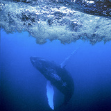 Atlantic Humpback Whale in a Graceful Roll, Dominican Republic Photographic Print by Thomas Wiewandt