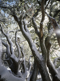 California, Cleveland Nf, Snow Covered Live Oak Trees in Winter Photographic Print by Christopher Talbot Frank