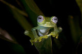 Ghost Glass Frog Found in Vegetation Near Stream. Costa Rica Photographic Print by Thomas Wiewandt