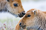 Wyoming, Yellowstone National Park, Bison Calves Greeting Each Other Photographic Print by Elizabeth Boehm