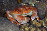Batwing Coral Crab. Curacao, Netherlands Antilles Photographic Print by Barry Brown