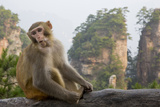 Rhesus Macaque, Hallelujah Mountains, Wulingyuan District, China Photographic Print by Darrell Gulin