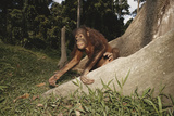 Asia, Malaysia, Sandakan, Monkey Sitting under Tree Photographic Print by Tony Berg