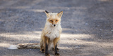 Yukon, Johnsons Crossing, Canada. Red Fox in the Rv Campground Photographic Print by Michael Qualls