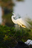 Florida, Venice, Audubon Sanctuary, Common Egret Stretch Performance Photographic Print by Bernard Friel