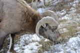 Rocky Mountain Bighorn Sheep in Jasper National Park, Alberta, Canada Photographic Print by Richard Wright