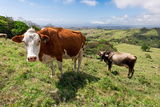Grass Fed Cattle, Costa Rica Photographic Print by Susan Degginger