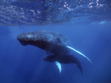 Atlantic Humpback Whales, Mother and Calf, Dominican Republic Photographic Print by Thomas Wiewandt