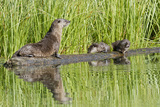 Wyoming, Yellowstone National Park, Northern River Otter and Pups on Log in Lake Photographic Print by Elizabeth Boehm