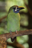 Blue Throated Toucanet. La Paz Waterfall Gardens, Costa Rica Photographic Print by Thomas Wiewandt