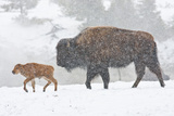 Wyoming, Yellowstone National Park, Bison and Newborn Calf Walking in Snowstorm Photographic Print by Elizabeth Boehm