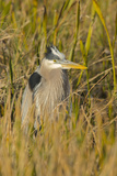 Great Blue Heron Finding Shelter, Viera Wetlands, Florida Photographic Print by Maresa Pryor