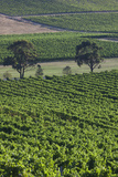 Australia, Victoria, Yarra Valley, Vineyard Photographic Print by Walter Bibikow