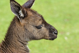 Close Up or Portrait of Wallaby Photographic Print by Rona Schwarz