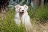 Portrait of an Australian Shepherd Photographic Print by Zandria Muench Beraldo