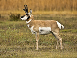 Pronghorn, Antelope Flats, Grand Teton National Park, Wyoming, USA Photographic Print by Michel Hersen
