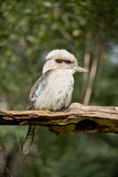 Australia. Dandenong, Grants Reserve. Kingfisher Laughing Kookaburra Photographic Print by Cindy Miller Hopkins