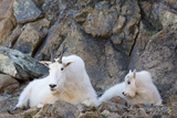 Wa, Alpine Lakes Wilderness, Ingalls Lake Area, Nanny Goat and Kid Photographic Print by Jamie And Judy Wild